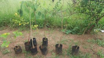 Mudas para plantação
